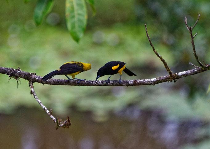 Black-cowled Oriole (mit Jungtier)