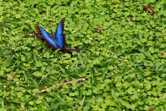 Blauer Morphofalter - Glückstreffer. Im Ruhezustand sind die Flügel immer geschlossen - einer der größten Falter bis 20 cm