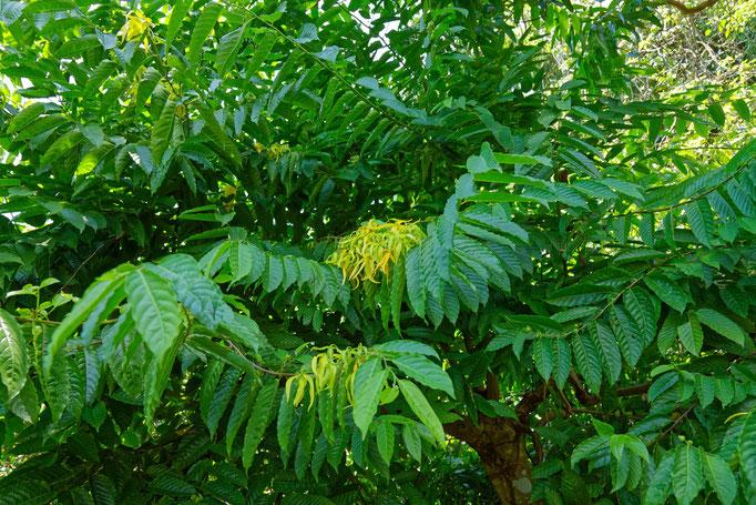 Der Baum Ilang-Ilang, der schmunzelnd Chanel No 5 genannt wird (Parfümgewinnung)