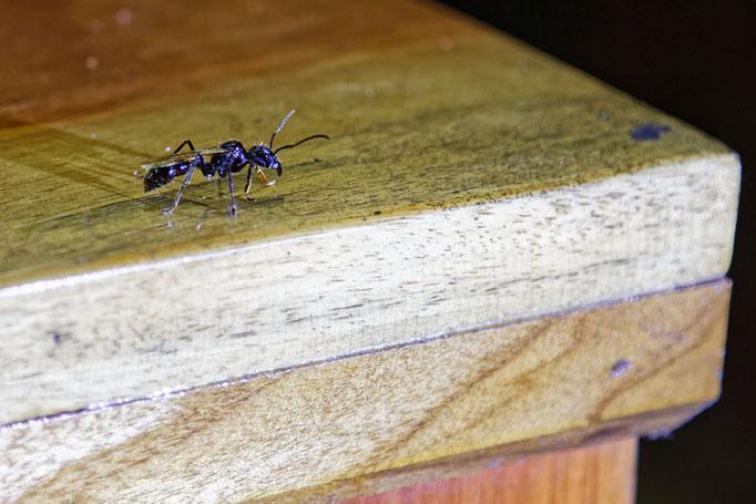 Gewehrkugelameise oder 24h-Ameise - verursacht die stärkst messbaren Schmerzen 24h lang