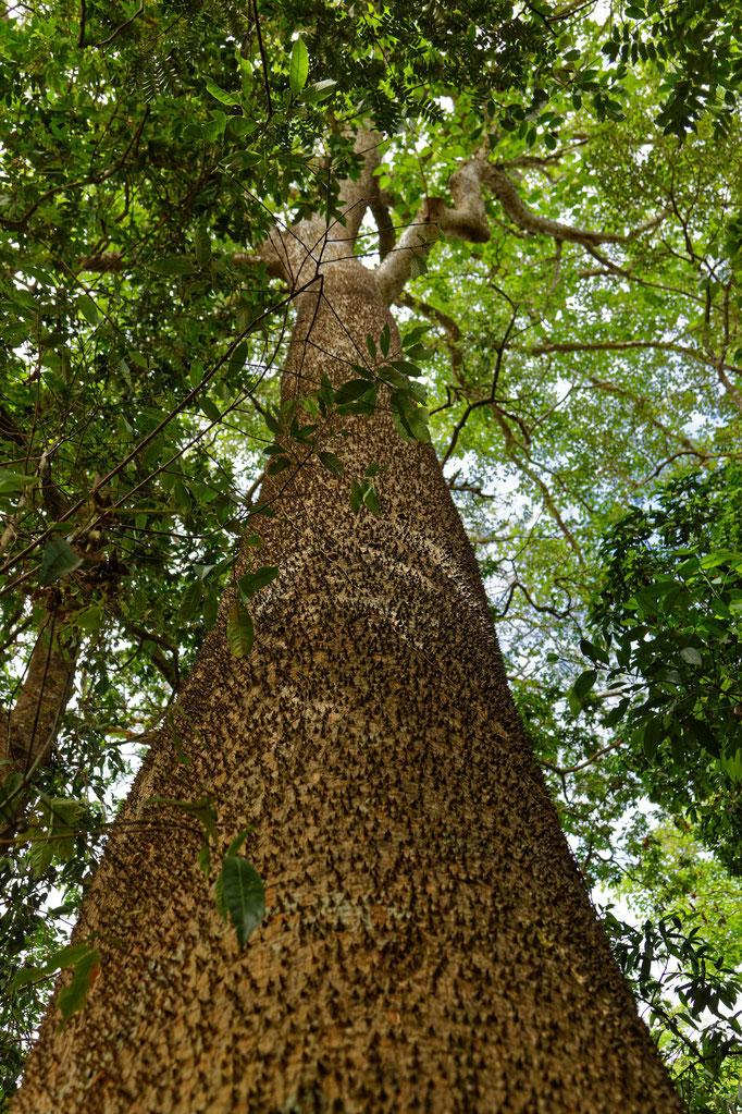 Sandbüchsenbaum