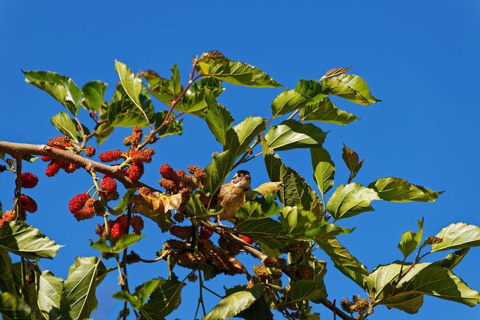 Da sitzt ein Beoachter im Maulbeerbaum