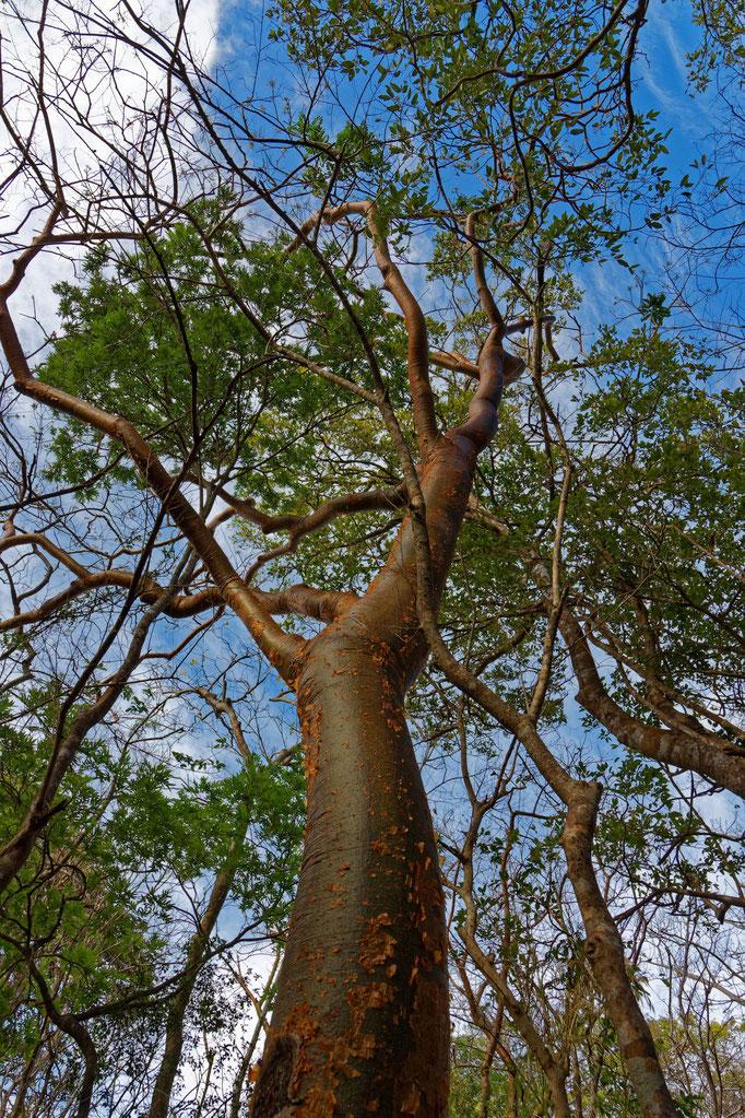 Weißgummibaum, Bursera