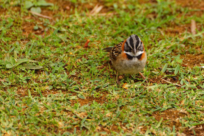 Rufous-collared Sparrow Morgenammer