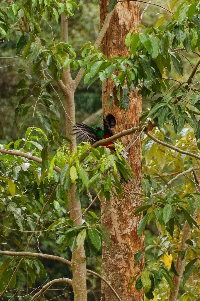 Quetzal, der Göttervogel von Mittelamerika
