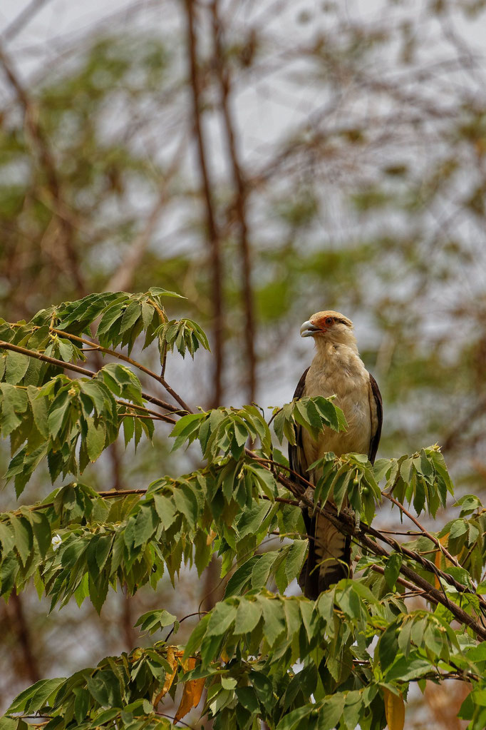 Yellow-headed Caracara Geierfalke