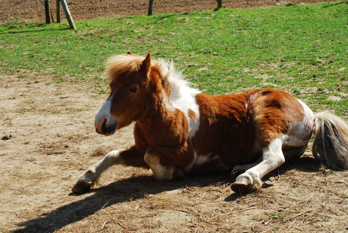Bandit, poney shetland