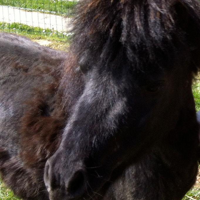 """Poly, mini-shetland né en 2012. Dès son plus jeune âge Poly a été """"oublié"""" sur une prairie, tout seul et sans soin."""