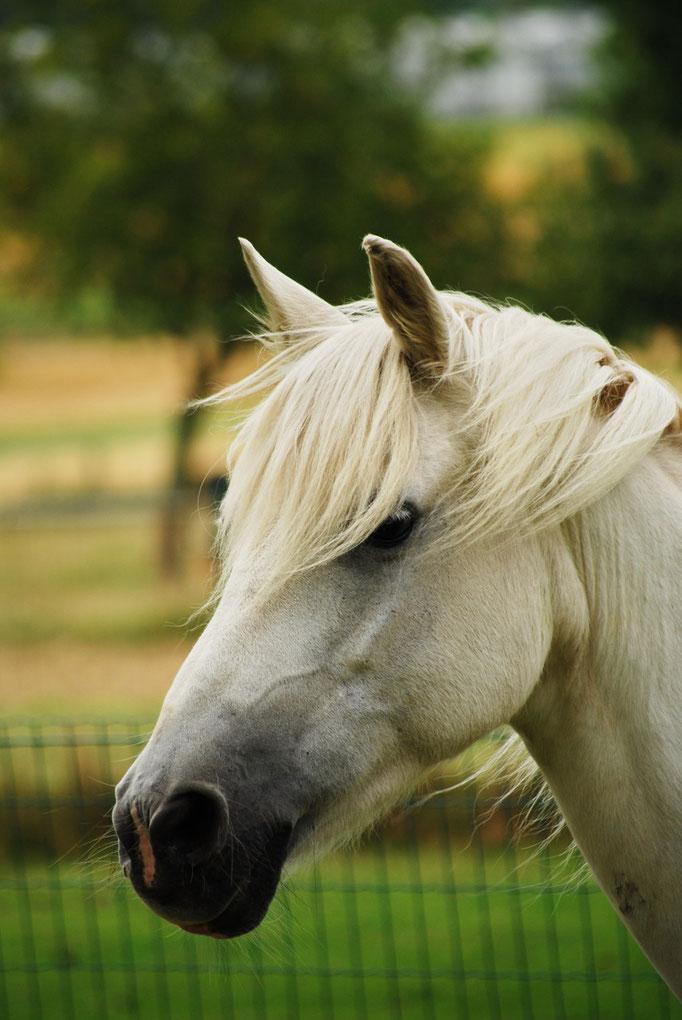 Shada, jument double poney