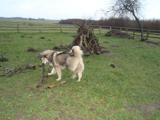 Denya (Herrchen hat das Holz aufgestapelt, zerstreut sieht es aber besser aus)