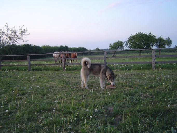 Kanee und im Hintergrund unsere Pferde