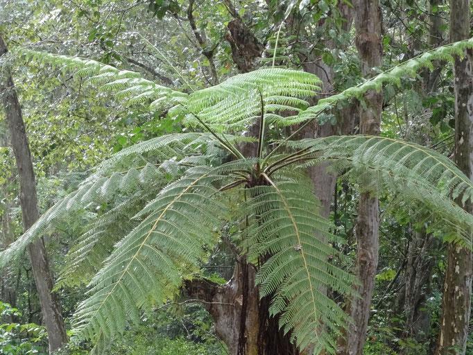 palmeras de elecho son los árboles más viejos del planeta / Farnbäume sind die ältesten des Planeten