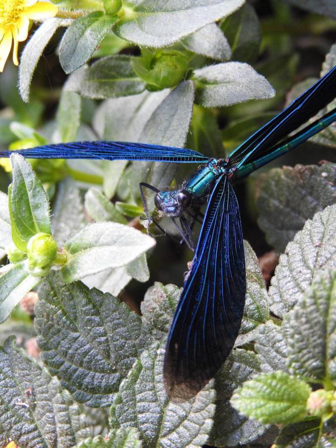 Ines Hanke - Libelle blau
