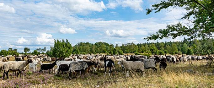 Dieter Reichert, die Herde
