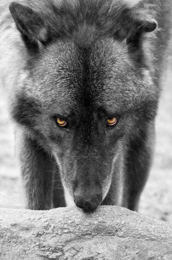 """Uwe Eckardt, """"Wolf"""""""