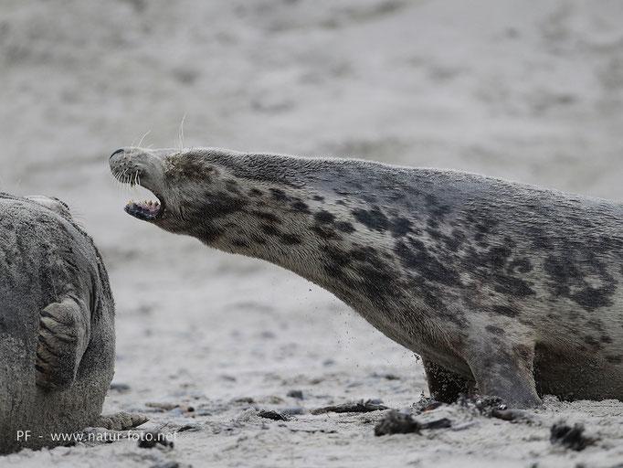 Kegelrobben auf Helgoland, 2013