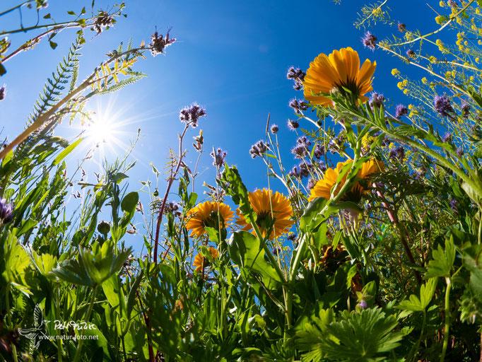 Bienenblumenwiese Weinsheim