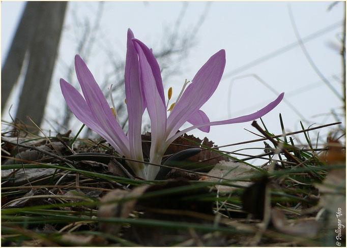 Lichtblume 17.03.2012