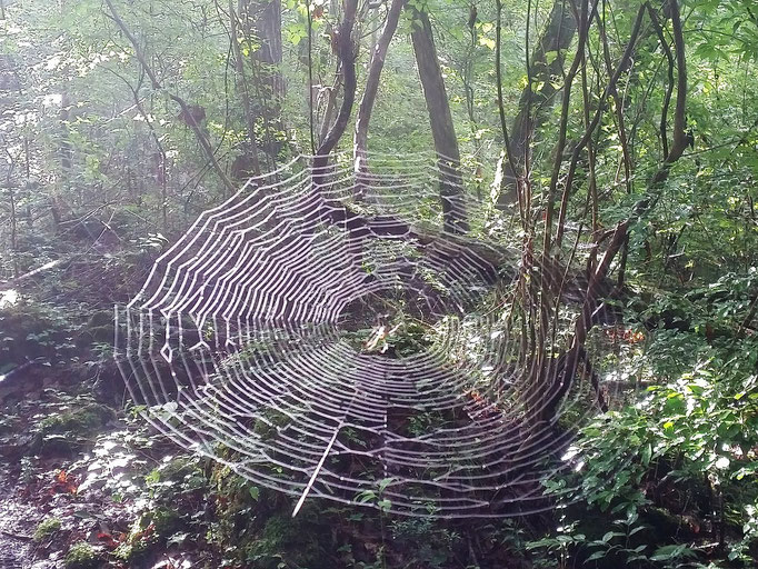 クモの巣がきれいです