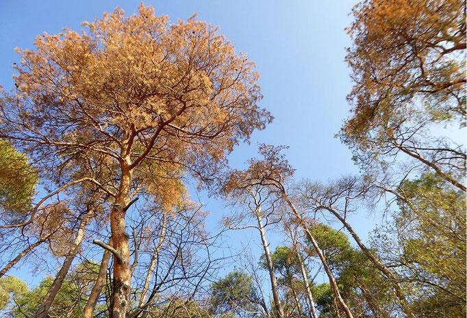 Trockene Kiefernkronen nach Pilzbefall - Foto: HessenForst