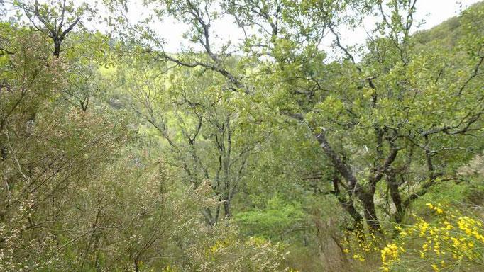 Chênes et bruyères blanches