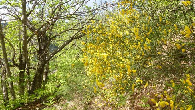 Floraison des genêts à balai