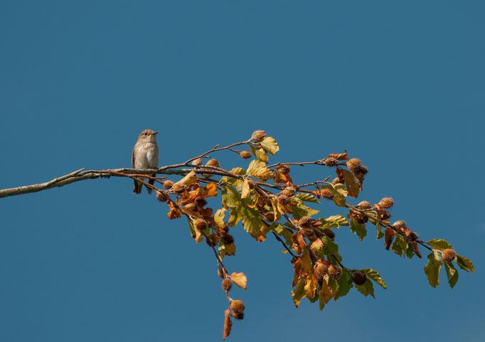 Le Gobe mouche gris