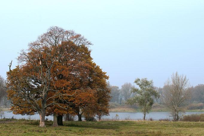 Baum am Elbufer - Deutschland