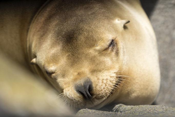 Seerobbe - träumt noch von weiteren Bildern, die folgen werden... - Zoo Aalborg, Dänemark
