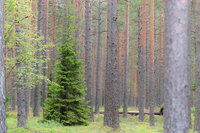 Kurzemes unendliche Wälder - Lettland