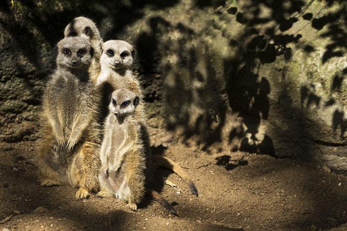 Erdmännchen versammeln sich - Zoo Aalborg, Dänemark