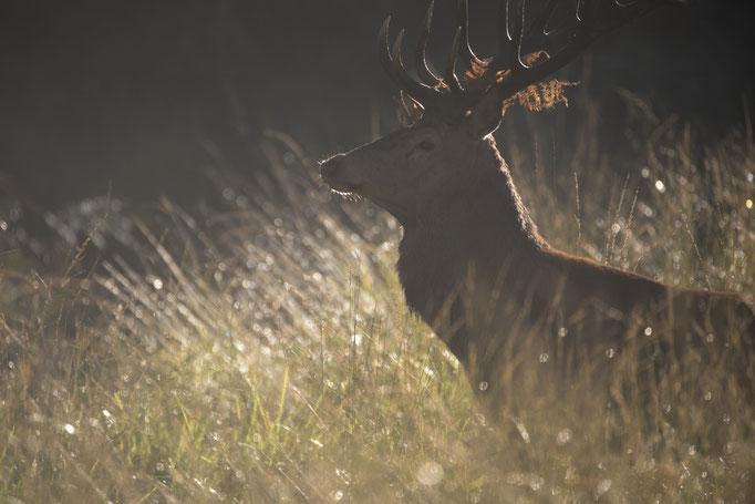 Cerf lumineux