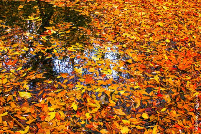 Жёлтый ковёр из листьев.