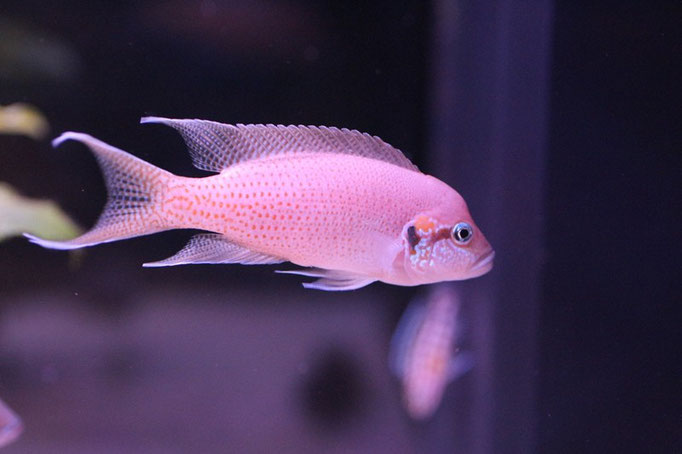 Neolamprologus brichardi