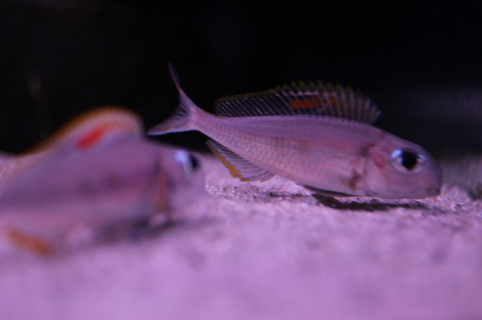 Xenotilapia nigrolabiata red princess нерест