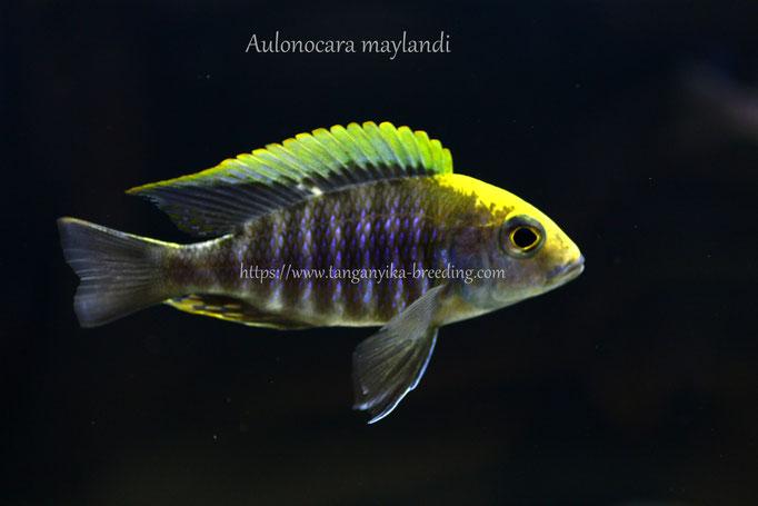 Аулонокара, аулонокара майланда, аулонокара майланди, Aulonocara, Aulonocara maylandi