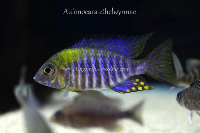 Аулонокара, аулонокара этельвина, Aulonocara, Aulonocara ethelwynnae
