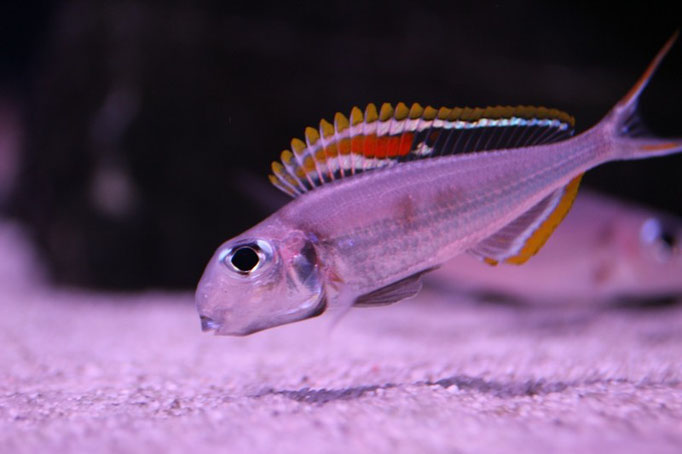 Xenotilapia nigrolabiata red princess нерес