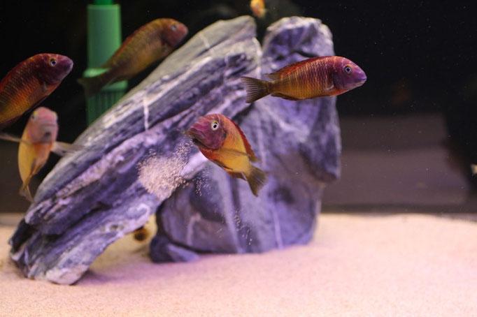Tropheus moorii ilangi yellow