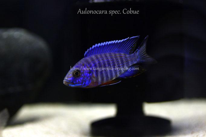 Аулонокара, аулонокара кобуе, Aulonocara, Aulonocara spec. Cobue