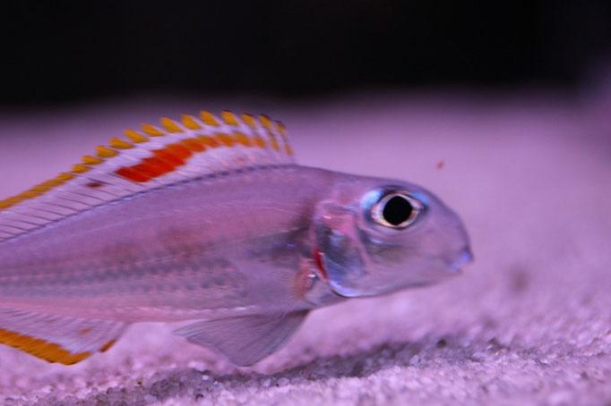 Xenotilapia nigrolabiata red princess самец крупным планом