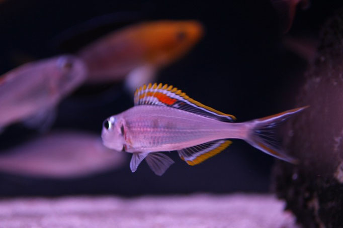 Xenotilapia nigrolabiata red princess во время нереста