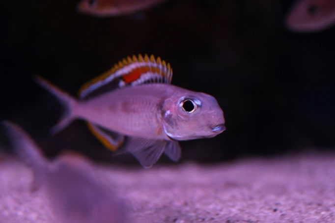Xenotilapia nigrolabiata red princess самец