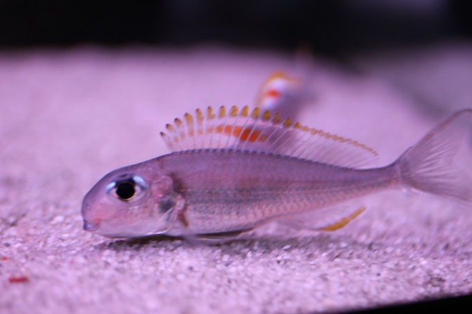 Xenotilapia nigrolabiata red princess самка сабрала икру