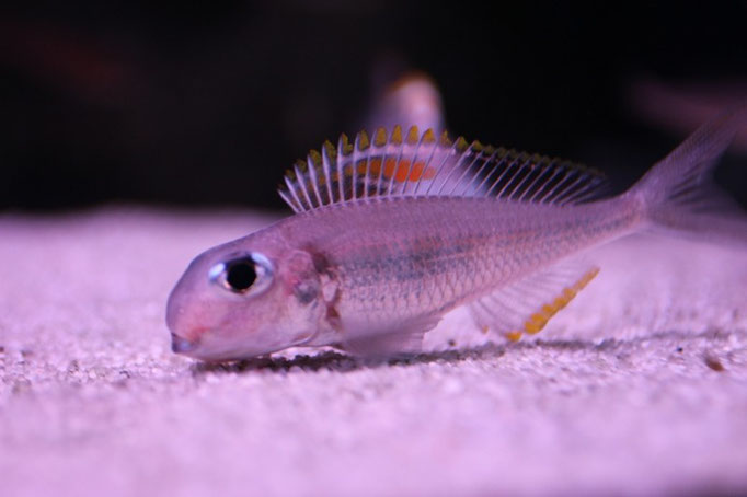 Xenotilapia nigrolabiata red princess самка с икрой