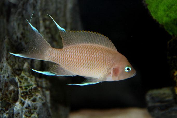 Neolamprologus marunguensis