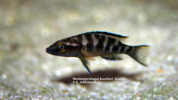 Neolamprologus buscheri 'Gombe'