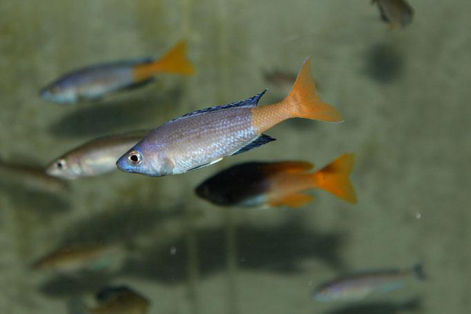 циприхромис, циприхромис лептозома, циприхромис лептозома юмбо, циприхромис лептозома юмбо китумба, циприхромис лептозома китумба, циприхромис лептозома юмбо, cyprichromis, cyprichromis leptosoma, cyprichromis kitumba, cyprichromis leptosoma kitumba