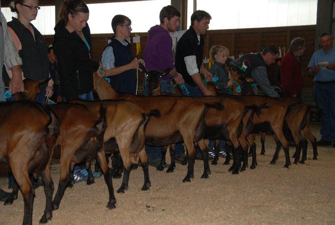 line up der Ziegen