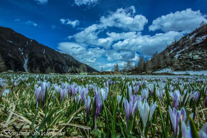 Ein Meer von Krokussen erwarten den Wanderer Ende April bis Mitte Mai in unseren Weißenbacher Bergen, im Bild hier auf der Göge Alm